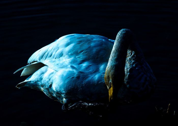 Animal Themes Bird One Animal Swan