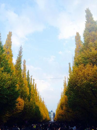 空 並木道 紅葉 銀杏 いちょう いちょう オクトーバーフェストの頃のイチョウの並木道。今年も、歩けるといいなぁ。