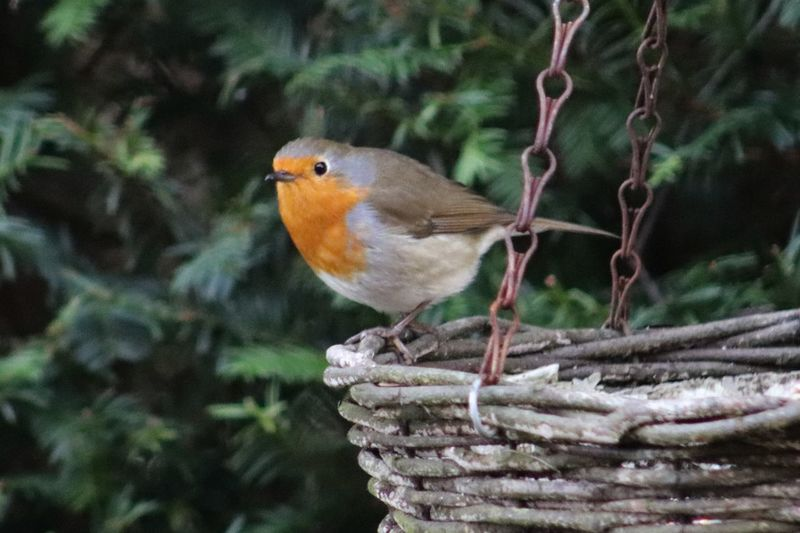 Red Robin picking up some lunch before the snow starts to fall, Winter 2018, Belgium 2016 Belgium Lunch Winter Wintertime Animal Themes Animal Wildlife Animals In The Wild Bird Birdfeeder Close-up Day Focus On Foreground Nature No People One Animal Outdoors Perching Robin Roodborstje Tree Vogelhuisje Winter 2018 Wintertijd