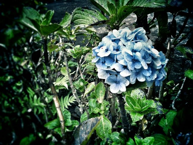 Nature On Your Doorstep Flowers Relaxing Taking Photos Hydrangea Blue