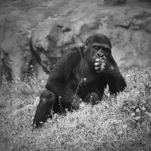 Gorilla on grassy field against rocks