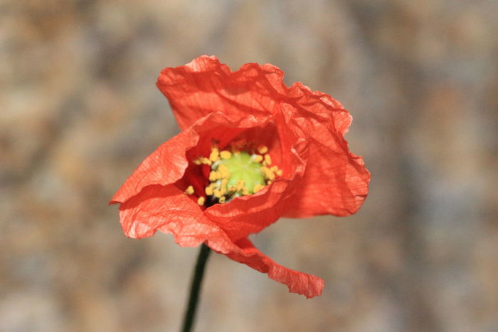Il primo papavero Sardinia Sardegna Italy  Papavero Papaver Papaveri Papaveri.rossi.passion.spring.sun.hot.aspettando.l'estate