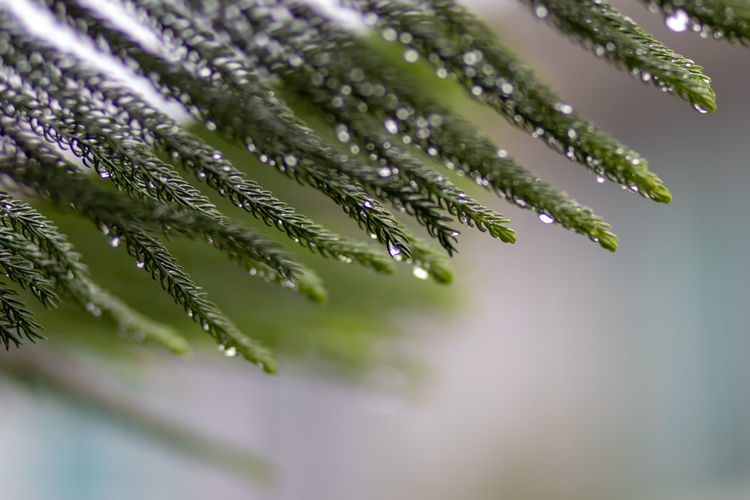 Beauty In Nature Close-up Coniferous Tree Day Dew Drop Fir Tree Focus On Foreground Fragility Freshness Green Color Growth Leaf Nature Needle - Plant Part No People Outdoors Pine Tree Plant Plant Part RainDrop Selective Focus Vulnerability  Water Wet