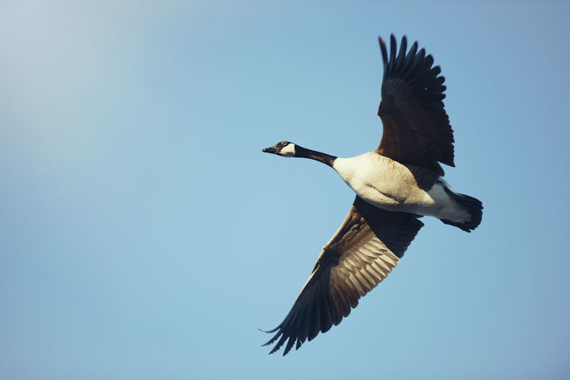 Birds in flight, flying south. Bird Photography Ducks In Flight Geese Nature Nature Photography Bird Bird In Flight Blue Blue Sky Duck Ducks In A Row Flight Flying South Geese Flying Goose Flying Minimalism Nature_collection Sky