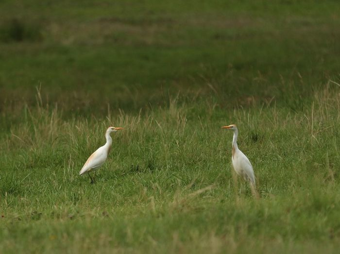 Cattle Egrets Animal Animal Themes Animal Wildlife Animals In The Wild Beauty In Nature Bird Crane - Bird Day Field Grass Green Color Group Of Animals Growth Land Nature No People Plant Selective Focus Two Animals Vertebrate White Color