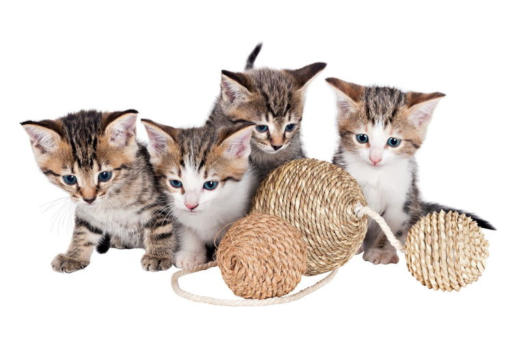 Animal Themes Day Domestic Animals Domestic Cat Feline Indoors  Kitten Looking At Camera Mammal No People Pets Portrait Sitting Studio Shot Togetherness White Background Young Animal