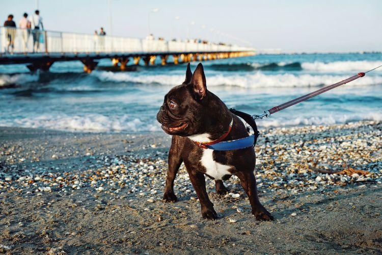 French bulldog dog standing on beach against waves an pier