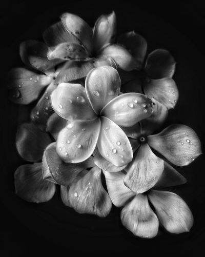 Black and white flower collection EyeEm Best Shots Lowlightphotography Low Light Photography Blackandwhite Black Background Flower Head Flower Collection Periwinkle Flowercomposition Bnw_collection Bnw_friday_eyeemchallenge Bestmobilephotography Mobilephotography Firangpani Lightandshadow Flowerhead Black Background Studio Shot Flower Head Flower Close-up Frangipani In Bloom Blossom Botany Plant Life