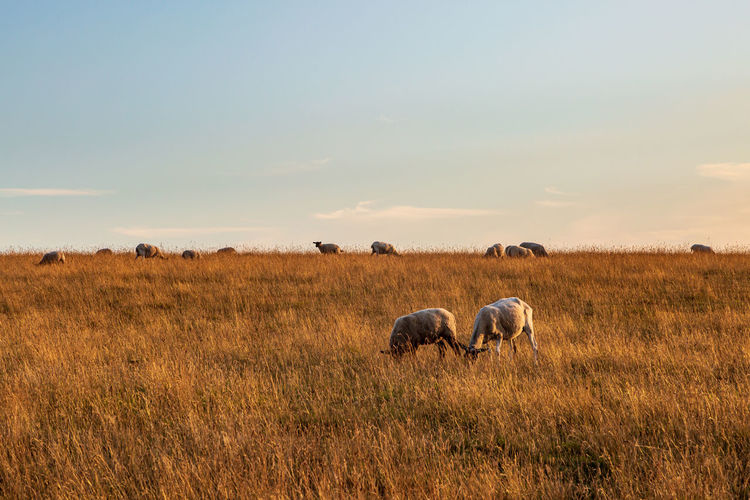 Sheep grazing in a sussex field on a sunny summers evening