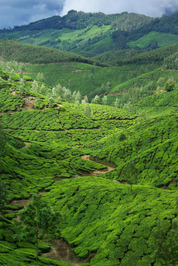 Beautiful Green Tea Plantations, India India Indian Indian Agriculture Munnar Kerala Agriculture Beauty In Nature English Tea Field Green Color Green Landscape Growth Landscape Mountain Plant Plantation Rural Scene Scenics - Nature Tea Crop Tea Leaves Tea Plant Tea Plantation  Tea Plantations Tea Time Tranquil Scene Tranquility