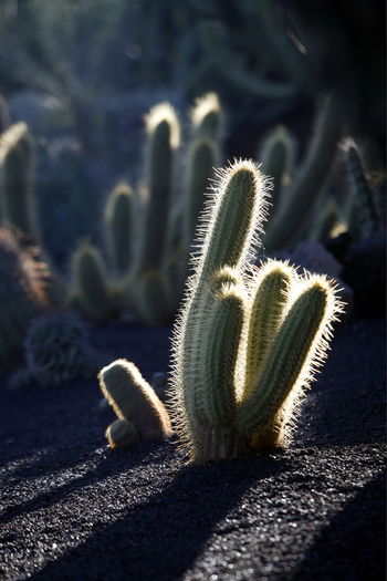 Cactuses Growing On Field