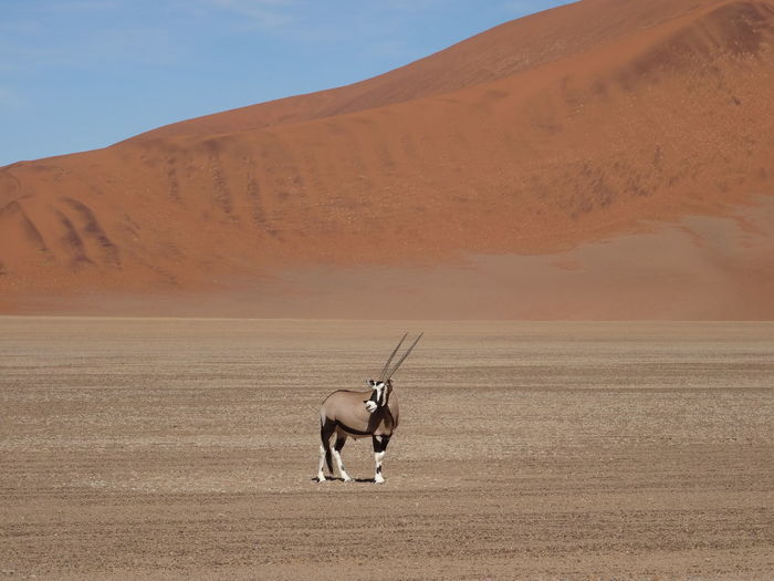 One single oryx standing in the Namibian desert / Sossusvlei EyeEmNewHere Namibia Red Sossusvlei Animal Themes Arid Climate Beauty In Nature Day Desert Desert# Domestic Animals Full Length Landscape Mammal Nature No People One Animal Oryx Outdoors Pets Sand Sand Dune Scenics Sky Standing