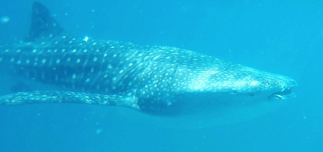 Second Acts Whale Shark Animals In The Wild Underwater Swimming Meet The Biggest Fish On Earth Ningaloo Reef West Australia