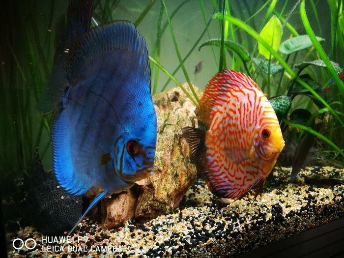 Fish Acquarium Discus First Eyeem Photo