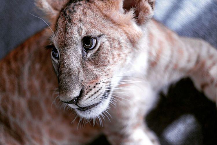 Close-up portrait of lion cub