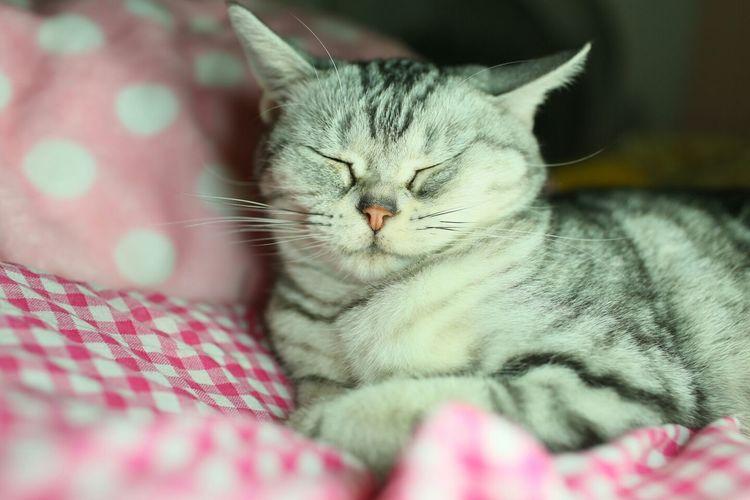 domestic cat