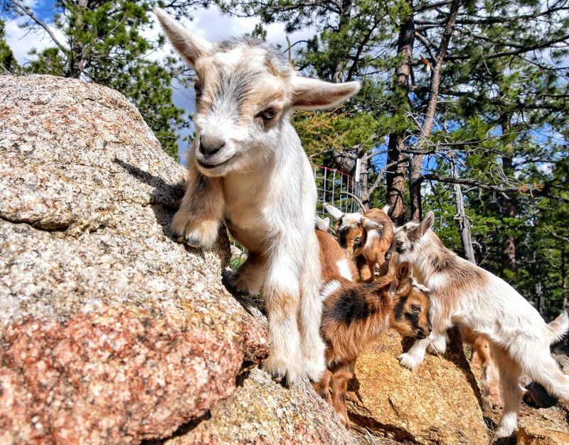 Animal Themes Day Mammal Outdoors No People Sunlight Domestic Animals Nature Tree Close-up Baby Goats Goat Goats Farm Animals The Great Outdoors - 2017 EyeEm Awards Sommergefühle Pet Portraits
