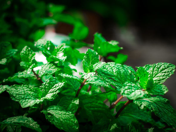 Agriculture Cooking Ingredients Day Essential Focus On Foreground Foliage Food Freshness Garden Green Color Growth Herb Leaf Leaves Mint Oganic  Oil Peppermint Peppermint Plant Plant Plant Part Selective Focus Tranquility Vegetable