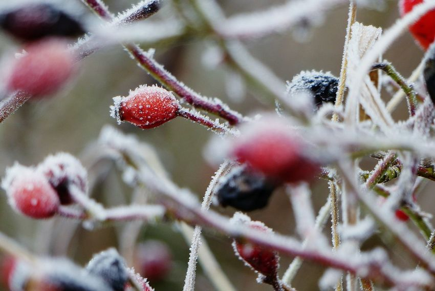 EyeEm Selects Nature Close-up Outdoors Red Freshness Cold Temperature EyeEmNewHere The Week On EyeEm Photography Aesthetic Amazing Awesome Fotografie Nature Aesthetics Winter Cool Ice Icecrystals Iced Frozen Hagebutten Rose Hip Rose Hips Shades Of Winter