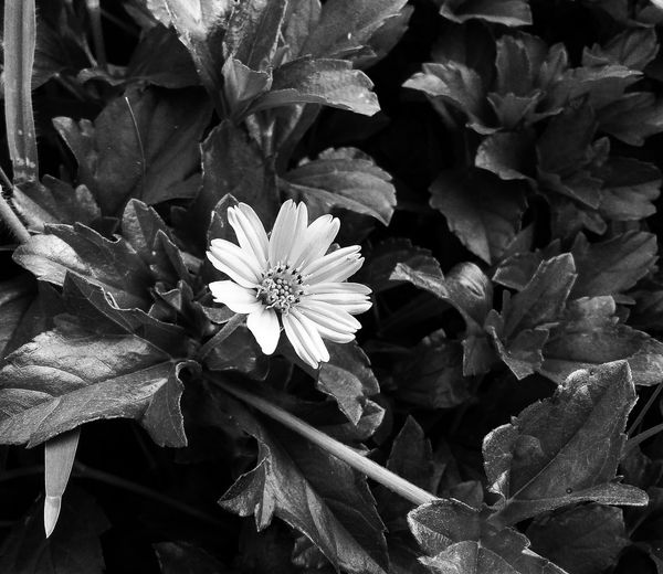 Flower Fragility Petal Flower Head Growth Plant Nature Beauty In Nature Blossom Leaf Freshness Close-up Day Outdoors No People The Week On EyeEm EyeEmNewHere Eyeemphoto EyeEm Best Edits Eyeem Photography Beauty In Nature Bw_collection Bwphotography EyeEm EyeEm Best Shots - Black + White
