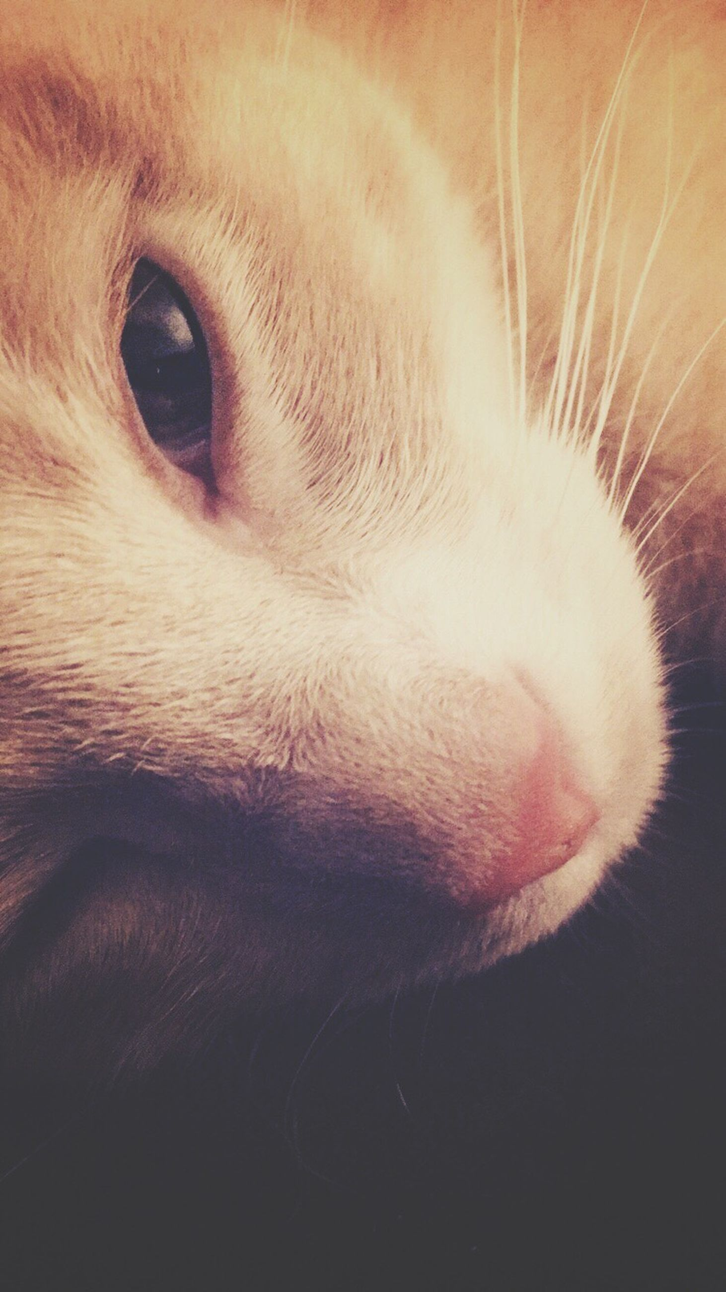 domestic animals, animal themes, one animal, pets, mammal, indoors, domestic cat, animal head, close-up, animal body part, cat, feline, whisker, part of, animal hair, animal eye, animal nose, zoology, snout, looking away