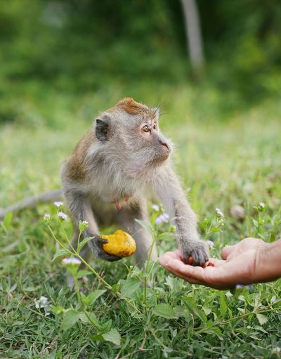 Cropped Hand Of Person Giving Food To Monkey On Field