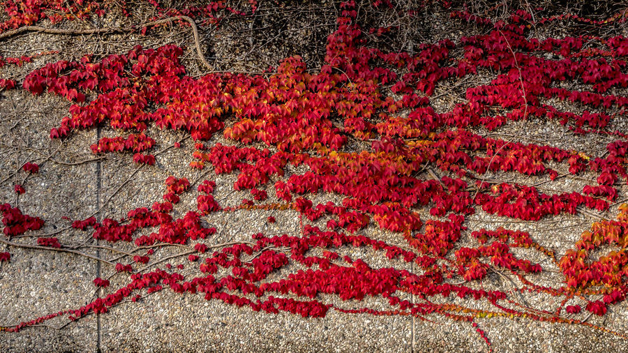 Climbing Plant Twiner Backgrounds Creeper No People Red Sheets Structure
