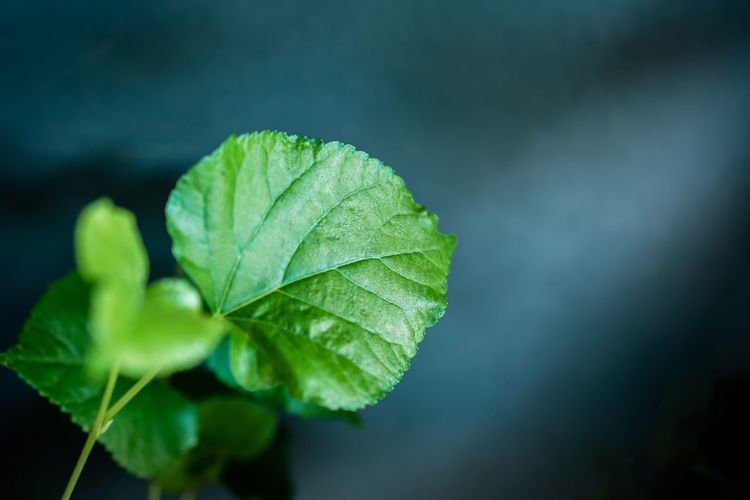 Green Leaves in Dramatic Light Leaf Plant Part Green Color Plant Close-up Nature Beauty In Nature Growth Focus On Foreground No People Day Freshness Selective Focus Outdoors Leaf Vein Vulnerability  Fragility High Angle View Tranquility Leaves