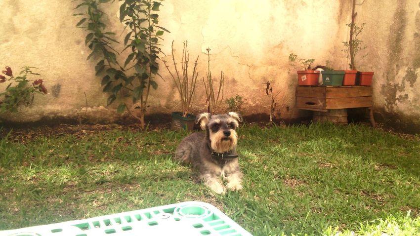 Relaxing Dog Schnauzer Garden Sunnyday Warmlight Naturallight Screen