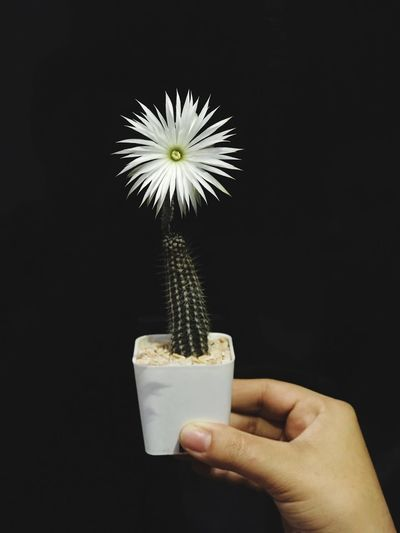 Cactus flower Human Hand Hand Holding Human Body Part One Person Freshness Real People Flowering Plant Flower Body Part Food And Drink Close-up Human Finger Personal Perspective Unrecognizable Person Lifestyles Finger Indoors  Plant Flower Head