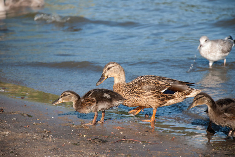 Duck With Ducklings On Shore