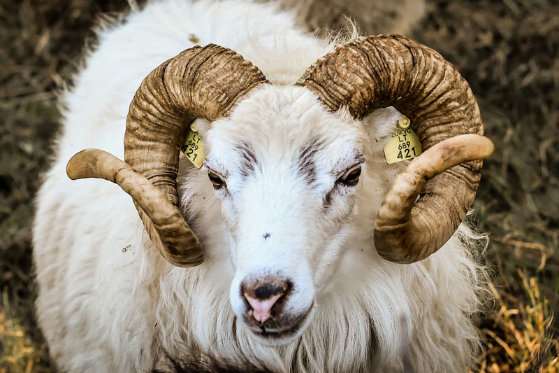Close-up portrait of white sheep
