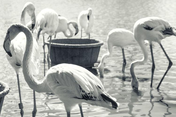 Slimbridge Flamingo Blackandwhite Bw_collection Nature Nature_collection Eye4photography