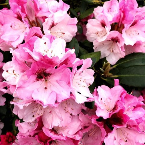Blossoms04 Pink Color Flower Flowering Plant Fragility Freshness Beauty In Nature Plant