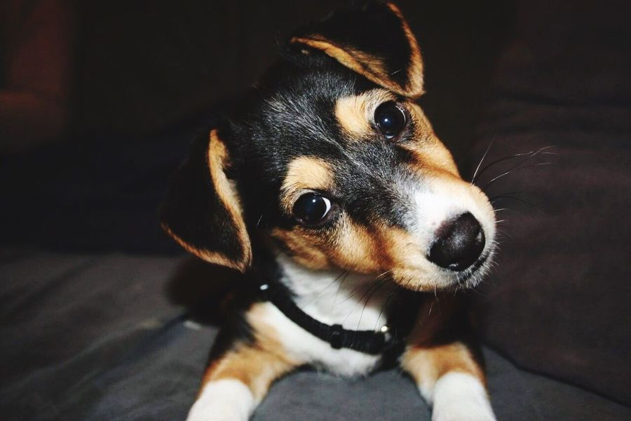Pets Dog Babydog Animal Themes One Animal Portrait Puppy Looking At Camera Young Animal Close-up Jackrussell EyeEmNewHere EyeEm Diversity Sweet Animal Sweety  Cute Pets Cute Dog  Babydogs Baby ❤ Baby Little Dog Little Dogs