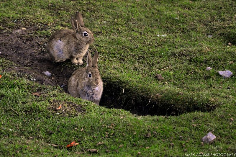 Rabbits on grassy field