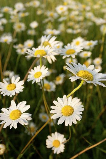 Leucanthemum vulgare, commonly known as the ox-eye daisy, oxeye daisy, dog daisy on the grassland