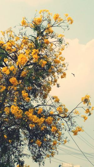 Flowers.. Yellow Yellow Flowers Mobilephotography Bird In Background Bird Tree Mobile Photography Shot_on_moto_g3 in Hyderabad , India