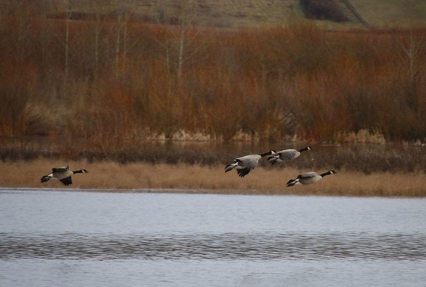 Landing Geese Landing Goose Geese Migration Oregon Oregon Wildlife Wildlife & Nature Nature Nature Photography