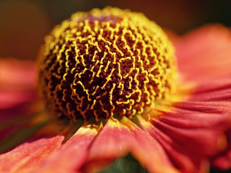 Close up of flower Sneezeweed Sonnenbraut Bright Pattern Pattern, Texture, Shape And Form Maximum Closeness Macro Perspective Nature Natural Light Colorful Multi Colored Detail Flower Head Flower Beauty Petal Sunflower Close-up Plant In Bloom Pollen Blossom Botany Plant Life Blooming Stamen Single Flower