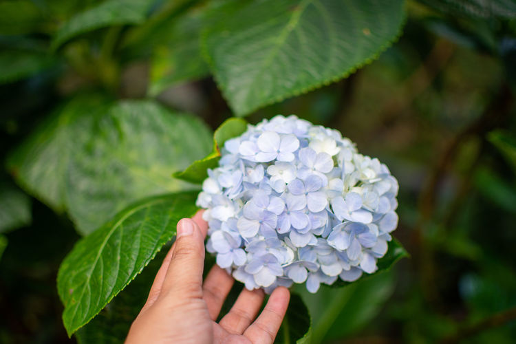 Close-up of human hand touching purple hydrangea flowers in park
