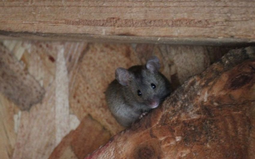 Mouse Mammal Animal Themes Animal Wildlife Animal One Animal Animals In The Wild Rodent
