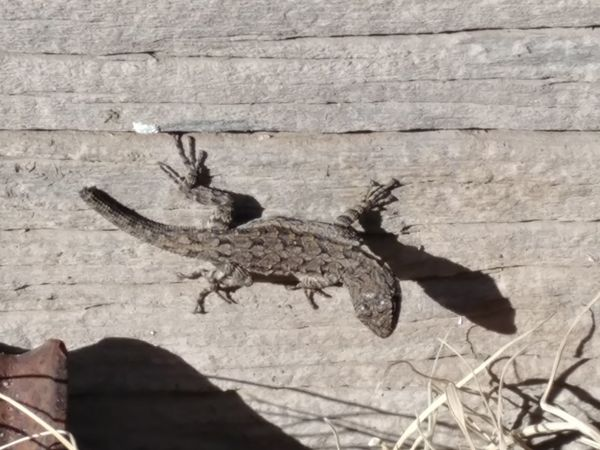No People Animal Themes One Animal Day Textured  Outdoors Animals In The Wild Close-up Nature Lizard Watching Lizard Nature Wooden Texture Tumbleweed Lizard Toes