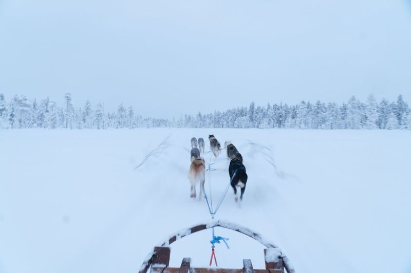 Dog sledding in  finish lapland with snow covered ground and frozen tree tops in the distance