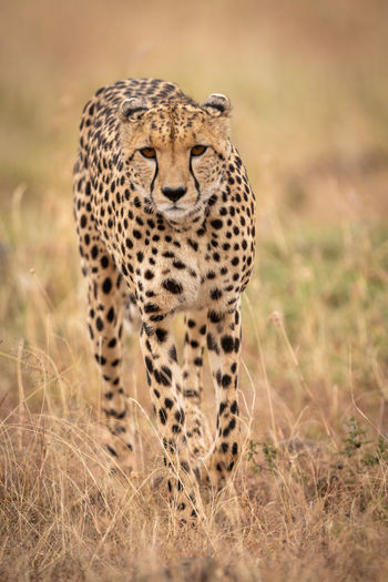 Portrait of cheetah walking on field