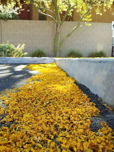 Looks like the Palo Verde trees, kissed the parking lot! Yellow Flower No People Outdoors Day Plant Flowerbed Nature Architecture Freshness Close-up Morning Light Yellow Flowers Palo Verde Tree Flowers