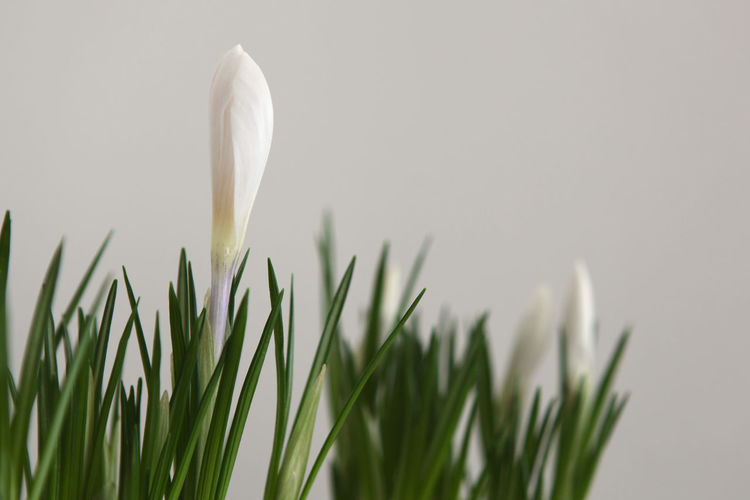 Green Beauty In Nature Crocus Early Bloomer Flower Flower Head Fragility Freshness Growth Nature Petal Plant White