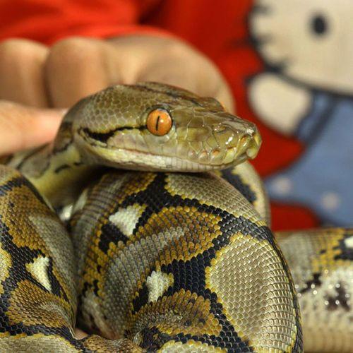 So cute. Phyton Reptile Ig_reptile Ular