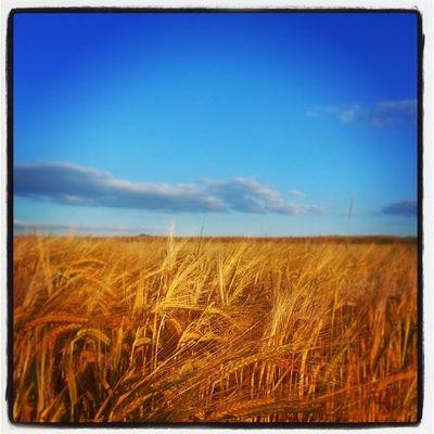 Corn Blue Sky Besigheim