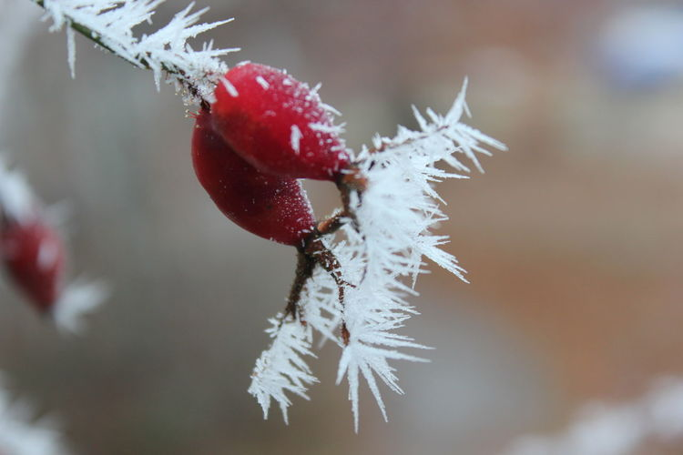 Close-up of frozen rose hips in winter